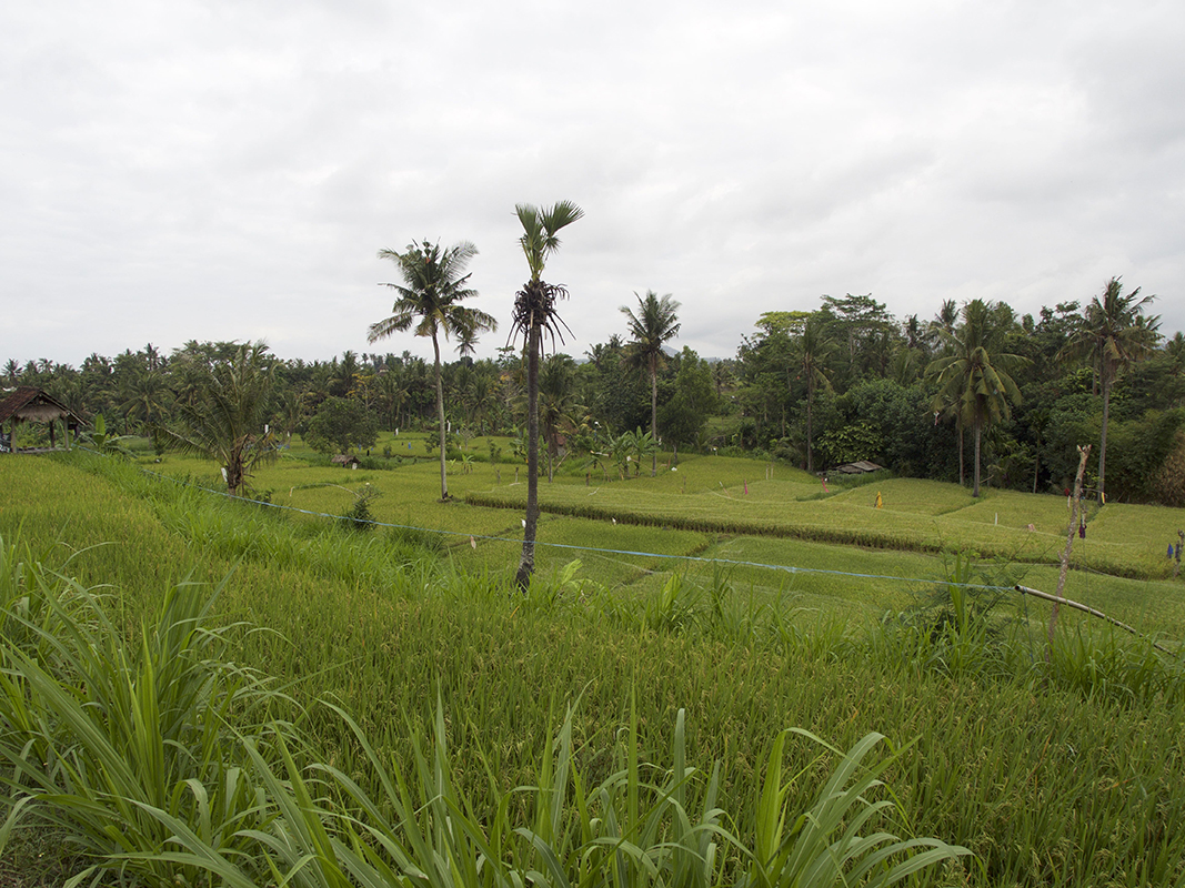 another-ricefield-in-bali