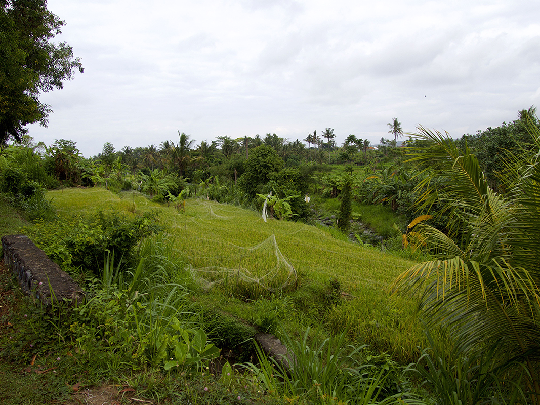 one of the many ricefields in bali - Eine Reise mit Freunden