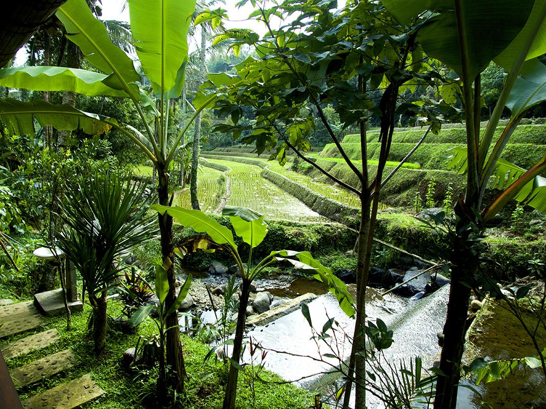 ricefield in bali - Eine Reise mit Freunden
